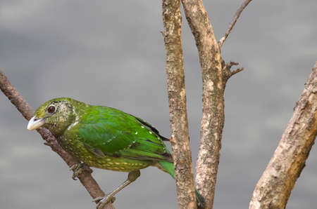 catbird: the green catbird is sitting high on a branch of a tree