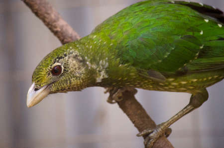 catbird: this is a close up of a green catbird Stock Photo