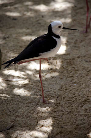 black winged stilt: the black winged stilt stands on one leg while resting