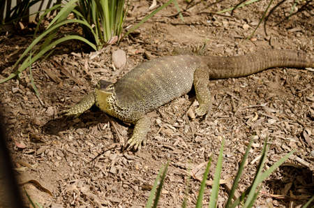 cold blooded: the lace lizard is a long cold blooded reptile Stock Photo
