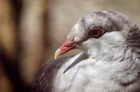 white headed: this is a close up of a carpet  white headed pigeon