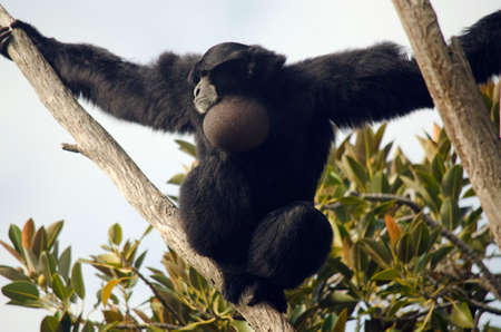siamang: the siamang monkey is on top of a tall tree Stock Photo