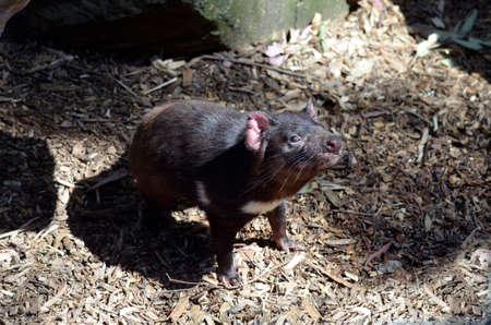 tasmanian: The Tasmanian devil is looking for food