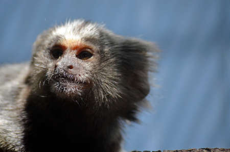 marmoset: this is a close up of a baby marmoset monkey
