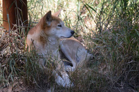vicious: The golden dingo is laying in the shade of the tree