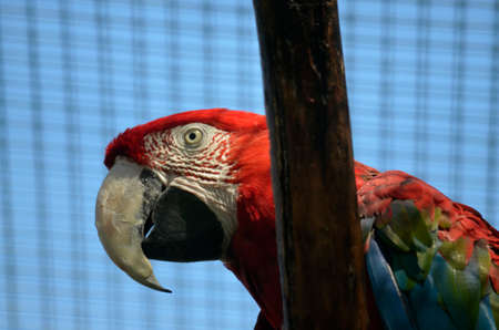 scarlet: this is a close up of a scarlet macaw Stock Photo