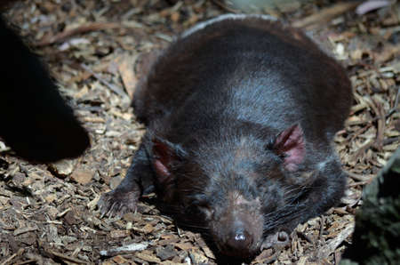 snarling: the tasmanian devil is sleeping in the sun