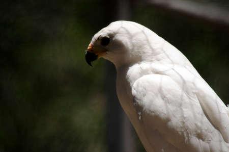 goshawk: this is a close up of a grey goshawk
