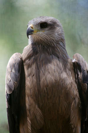 close uo: this is a close uo of a whistling kite