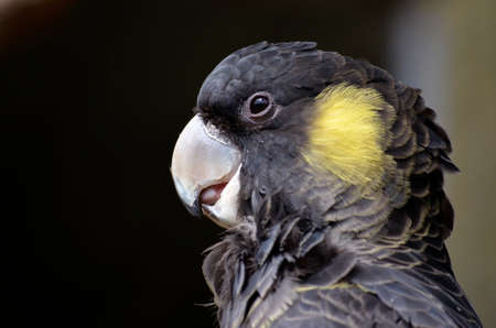 yellow tailed: close up of a yellow tailed black cockatoo Stock Photo