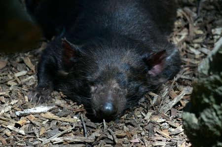 tasmanian: close up of a tasmanian devil resting Stock Photo