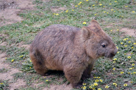 nosed: close up of a hairy nosed wombat