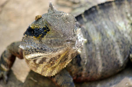 cold blooded: close up of a water dragon lizard Stock Photo