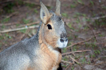 patagonian: close up of a patagonian cavy