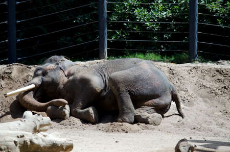 cool off: the elephant is rolling in the dirt to cool off