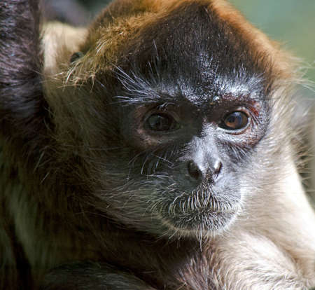 handed: this is a close up of a black handed spider monkey Stock Photo
