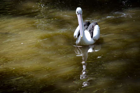 murky: the pelican is swimming in murky water Stock Photo