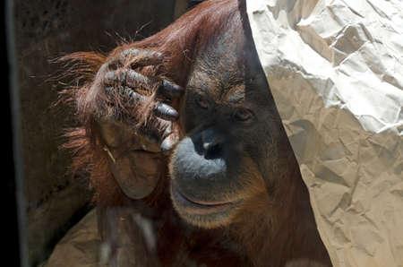 hessian bag: the orangutan is hiding on a hessian bag