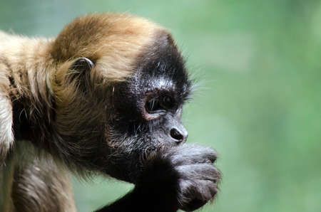 handed: this is a close up of a black handed spider monkey side view