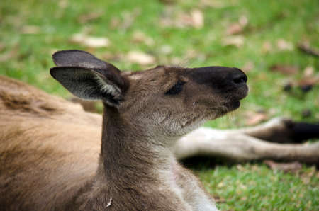 marsupial: this is a close up of a ki kangaroo with its mouth open