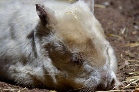 nosed: this is a close up of an albino wombat Stock Photo