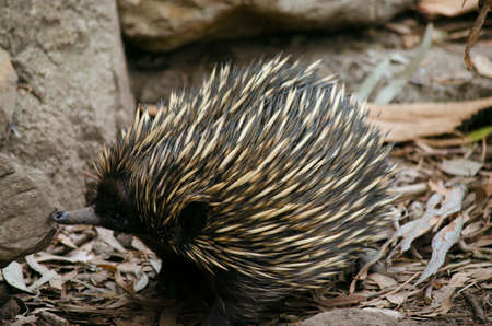 echidna: the echidna is searching the rocks for ants