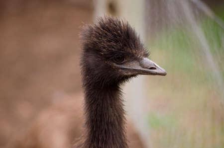 emu: este es un primer plano de un emú australiano joven