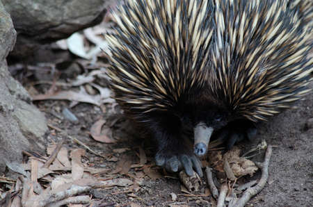 echidna: this is a close up of an echidna Stock Photo