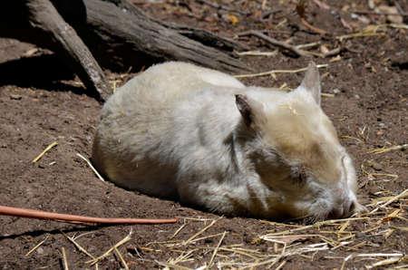 wombat: el wombat albino está descansando en el sol
