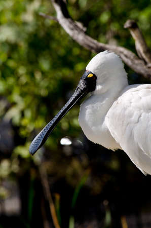royals: this is a close up of a royal spoonbill Stock Photo