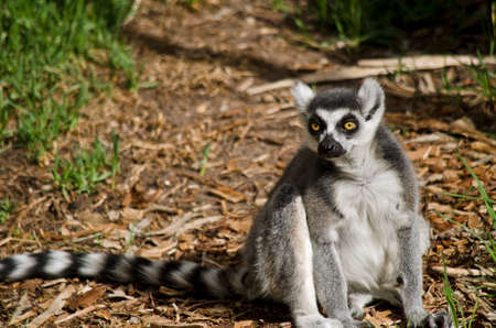 ring tailed: this is a close up of a ring tailed lemur