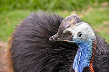 cassowary: this is a close up of a young cassowary