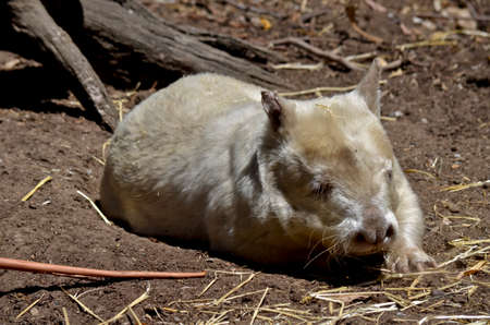 marsupial: the albino wombat is resting in a field