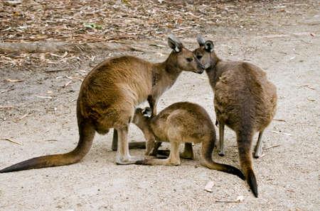 joey: the KI kangaroo is feeding her young joey Stock Photo