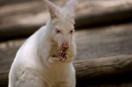 albino: this is a  close up of an albino kangaroo