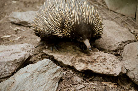 echidna: this is a  close up of a echidna Stock Photo