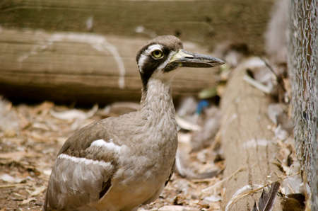 caged: this is a  close up of a beach stone curlew Stock Photo