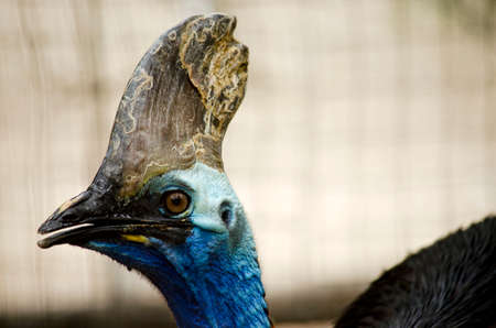 black beak: this is a  close up of a cassowary Stock Photo