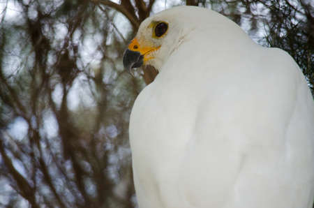 backview: this is a  close up of a white goshawk Stock Photo