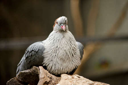beak pigeon: this is a  close up of a top knot pigeon Stock Photo