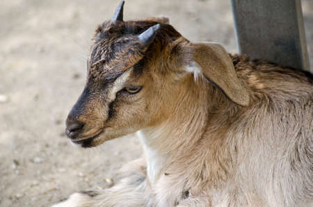 baby goat: this is a  close up of a baby goat