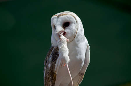 bird eating raptors: the barn owl  is eating a dead mouse Stock Photo