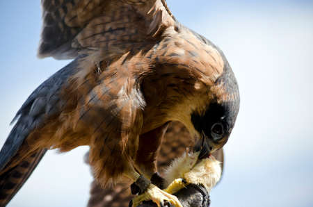 bird eating raptors: this is a  close up of a krestel