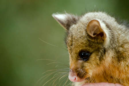 possum: this is a close up of a joey possum