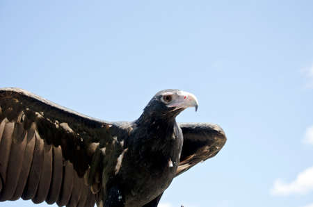 raptors: this is a  close up of a wedge tailed eagle