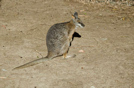 wallaby: the parma wallaby is searching for food Stock Photo