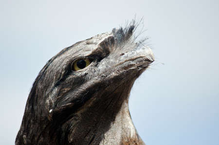 tawny: this is a  close up of a tawny frogmouth Stock Photo