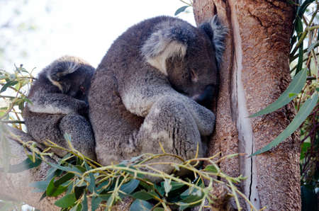 joey: this is a mother koala with her joey in a eucalyptus Stock Photo