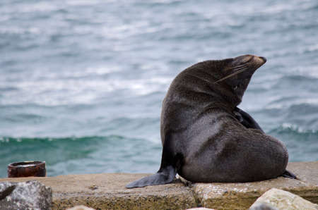 scratching: the new zealand fur seal is scratching his head