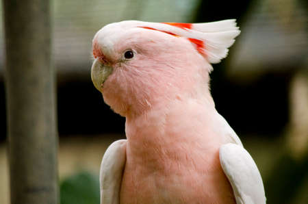 this is a close up of a major mitchell cockatoo